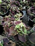 Plectranthus scutellarioides ` Balcovino `, Vino Coleus fotografia stock
