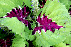 Plectranthus scutellarioides & x27 Kong Mosaic& x27  Στοκ Φωτογραφίες
