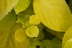 Plectranthus scutellarioides , lemon dash, compact low growing cultivar with golden green broad leaves. Plectranthus scutellarioides `Wizard Sun Golden` royalty free stock photos