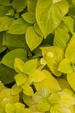 Plectranthus scutellarioides , lemon dash, compact low growing cultivar with golden green broad leaves. Plectranthus scutellarioides `Wizard Sun Golden` stock image