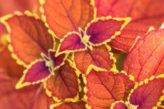 Plectranthus scutellarioides , winter sun, compact low growing cultivar. Plectranthus scutellarioides, winter sun, compact low growing cultivar , in Birmingham stock image