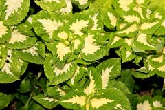 Plectranthus scutellarioides `Wizard Jade`, syn: Solenostemon scutellarioides, Coleus blumei. Cultivar with light green leaves with central red and brown Stock Photos