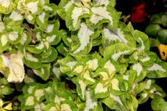 Plectranthus scutellarioides `Wizard Jade`, syn: Solenostemon scutellarioides, Coleus blumei. Cultivar with light green leaves with central red and brown Royalty Free Stock Photos