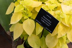 Plectranthus scutellarioides , lemon dash, compact low growing cultivar with golden green broad leaves. Plectranthus scutellarioides `Wizard Sun Golden` stock photography