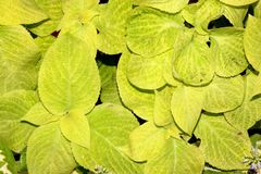Plectranthus scutellarioides `Wizard Sun Golden`. Compact low growing cultivar with golden green broad leaves, for contrast with dark colored cultivars, hardy royalty free stock photos
