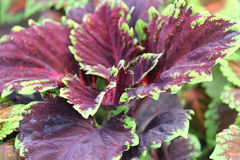 Plectranthus scutellarioides 'Kong Red' Stock Photography