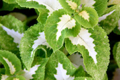 Plectranthus scutellarioides 'Wizard Jade' Royalty Free Stock Images