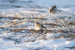 Plectrophenaxnivalis, Enig mannetje op grond, Norfolk, de winter Stock Foto