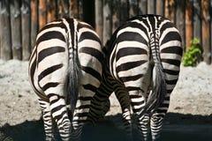 plecy pary zebra Fotografia Stock