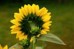 Plecy słonecznik Obrazy Stock