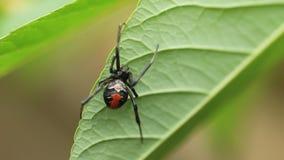 Plecy wdowy pająk zdjęcie wideo