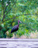 The Plegadis falcinellus bird on the fence. The Plegadis falcinellus bird. (Threskiornithidae). Glossy Ibis in wildlife. Unusual african wading bird Stock Photo
