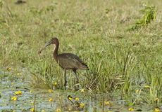 Plegadis falcinellus - Glossy Ibis. Foraging in a marsh in the Danube Delta Royalty Free Stock Photography