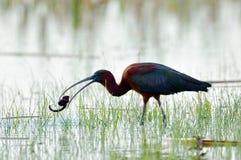 plegadis ibis falcinellus лоснистые Стоковые Фото