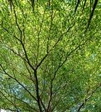 Plein cadre d'arbre/de branches verts/feuille Photos libres de droits