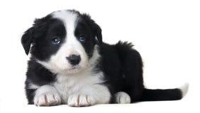 Plein chien de berger border collie de portrait de chien de corps se trouvant et solated sur le fond blanc photo libre de droits