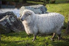 Plein corps des moutons mérinos dans l'exploitation d'élevage Nouvelle Zélande Images libres de droits