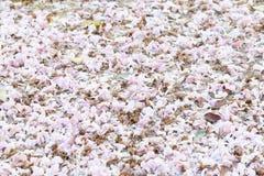 Plein de la fleur de trompette rose photographie stock libre de droits