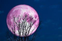 plein dos rose superbe de lune sur l'arbre de silhouette dans l'obscurité sur le ciel Photos stock