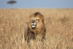 Plein portrait de corps du lion masculin de rivière ou d'Elawana de sable entouré par l'herbe grande photo libre de droits