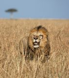 Plein portrait de corps du lion masculin de rivière ou d'Elawana de sable entouré par l'herbe grande images libres de droits