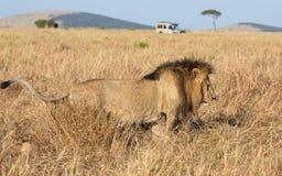 Plein portrait de profil de corps du lion masculin, Panthera Lion, de la rivière de sable ou de la fierté d'Elawana, marchant dan photographie stock libre de droits