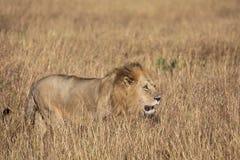 Plein portrait de profil de corps du lion masculin, Panthera Lion, marchant dans l'herbe grande de Masai Mara au Kenya photo libre de droits