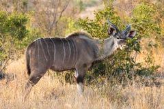 Plein portrait de profil de corps de jeune mâle adulte peu de Kudu, imberbis de Tragelaphus, dans le paysage africain mangeant de photographie stock