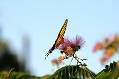 Plein profil de l'alimentation de papillon de machaon Photos libres de droits