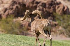 Plein Ram de mouflons d'Amérique de désert de boucle Photographie stock libre de droits