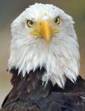Plein regard magnifique de trame d'aigle chauve Photographie stock