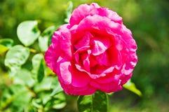 Plein rose s'est levé Photo libre de droits