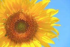 Plein tournesol de floraison jaune vibrant sur le fond du ciel bleu photos stock