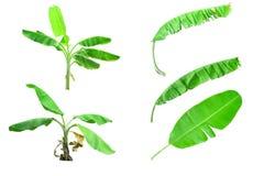 Pleine feuille tropicale de banane d'isolement sur le fond blanc photos stock
