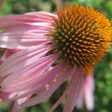 Pleine fin de vue de côté de fleur pourpre de cône  Photo stock