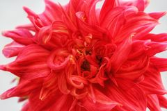 Pleine fleur de dahlia de cadre photo libre de droits