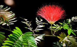 Pleine fleur fleurie de Raintree Photographie stock