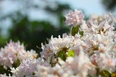 Pleine floraison Image libre de droits