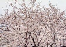 Pleine floraison blanche de Sakura à la saison image libre de droits