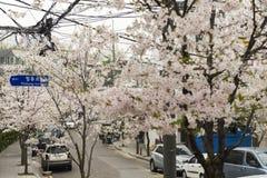 Pleine floraison des fleurs de cerisier sur la rue de Séoul photo stock