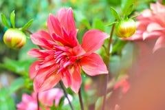 Pleine floraison fanée de fleur rose Photo libre de droits