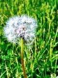 Pleine floraison prête pour un souhait photos stock