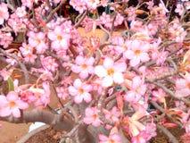 Pleine floraison tôt Photo libre de droits