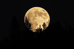 Pleine lune se levant derrière des arbres Images libres de droits
