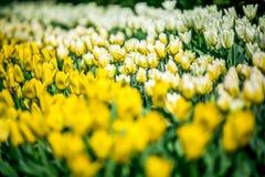 Pleine tulipe rouge, jaune, blanche de fleur de Hollande Photo stock