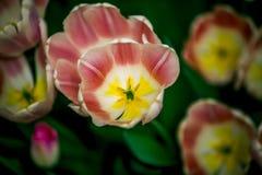 Pleine tulipe rouge, jaune, blanche de fleur de Hollande Images libres de droits