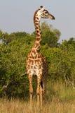 Pleine verticale d'une giraffe Photos libres de droits