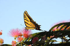 Pleine vue de côté de l'alimentation de papillon de machaon Image stock