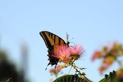 Pleine vue de côté de l'alimentation de papillon de machaon Photos libres de droits