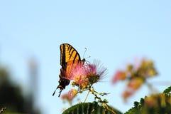 Pleine vue de côté de l'alimentation de papillon de machaon Photo stock